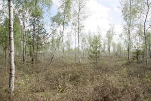 Degradavusioje aukštapelkėje suintensyvėja medžių augimas, kiminų dangą užgožia krūmokšniai (viržiai, gailiai ir kt.), nunyksta spanguolės